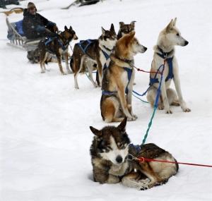 Kutyaszánhúzó-verseny