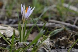 Virágzik a tarka sáfrány Debrecenben