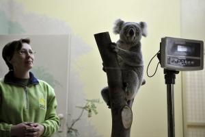 Március 6-ától láthatók a koalák a Budapesti Állat- és Növénykertben