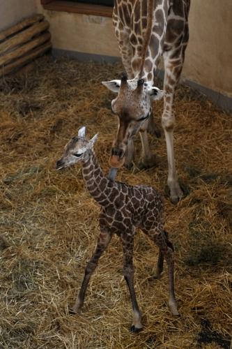Zsiráfborjú született a budapesti állatkertben