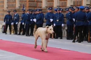 Kutya a vörös szőnyegen