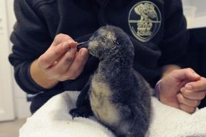 Pingvinfióka