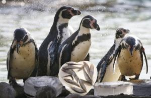 Bálint-nap és a pingvinek