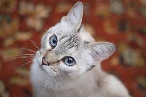 A macskák ugyanolyan intelligensek lehetnek, mint a kutyák