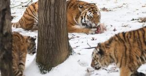 Látványos tigrisetetés a Nyíregyházi Állatparkban