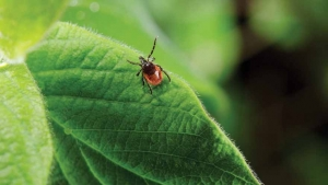 Évről évre nő a fertőzött kullancsok száma