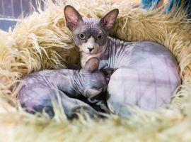 Nemzetközi macskakiállítás Egerben