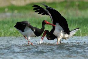 Fekete gólyák