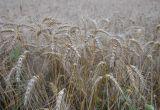 Korai aratás