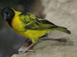 Védett madarakat találtak a pénzügyőrök Röszkén
